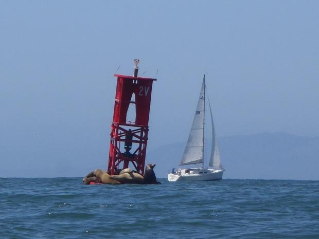 Sea Lions & Sailing