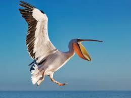 Pelican -  Science How Stuff Works
